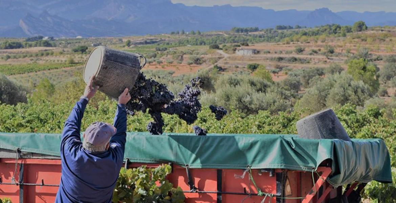 La Cooperativa fa un balanç excepcional de la verema del 2020, un any especialment dolent per al sector vitivinícola